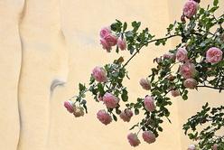 Le rosier de la cour