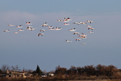 Vol de flamants roses
