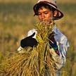 La cueillette du riz