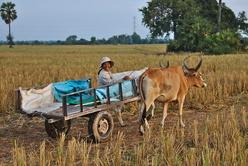 Charrette dans les rizières