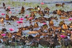 L'élevage de canards