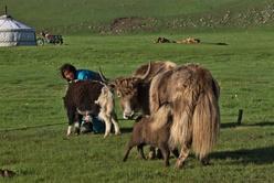 À l'heure de la traite des yacks