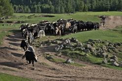Le retour du troupeau de yacks